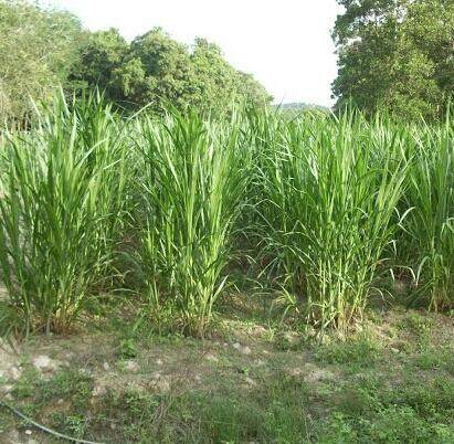 Napier grass (goat and cow feed)