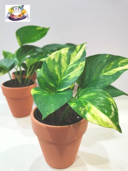 Money Plant Come With Clay Pots 8.5 cm x 9 cm for Indoor & Outdoor Garden Decoration