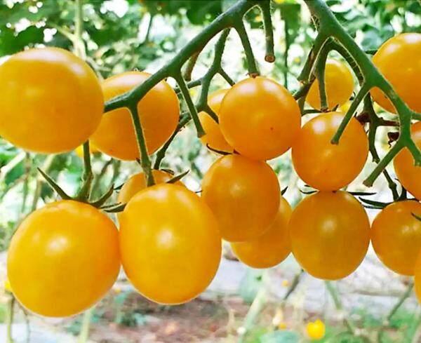 Biji Bernih Tomato Ceri Kuning ( 25 Seeds )/黄色圣女果种子/Yellow Cherry Tomato Seeds
