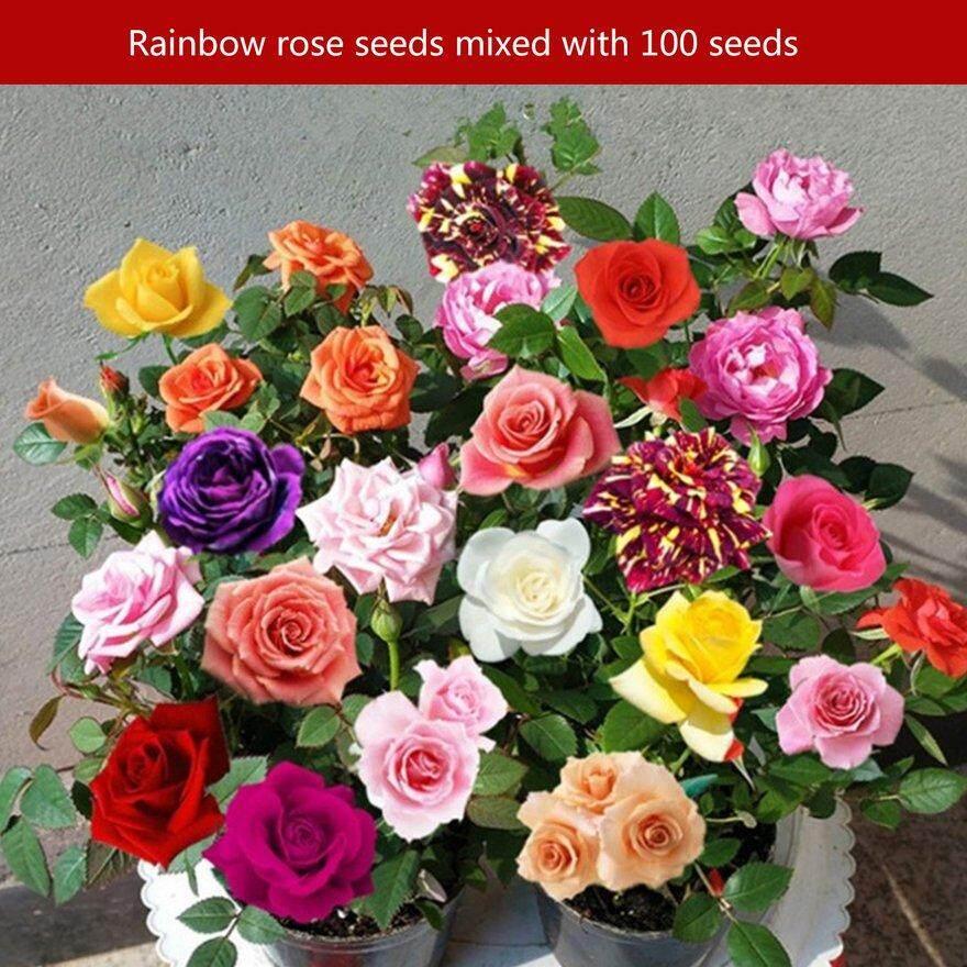 ANEXT 100PCS/SET Rare Multi Color Rose Flowers Seeds Home Garden Decor Plants Seed