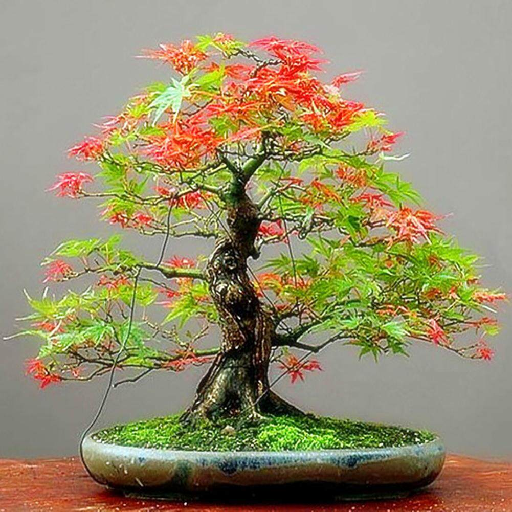 30x Seeds Maple Bonsai Blue Tree Japanese Rare Palmatum Atropurpureum Acer Plant