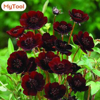 MyTool 100 Cái bộ Hiếm Sô Cô La Cosmos Hạt Giống Vườn Nhà DIY Bipinnatus Calliopsis Hạt Giống Hoa thumbnail