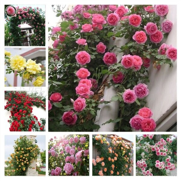 50PCS Climbing Rose Seeds Red Pink Yellow flower seed Perennial Flower Garden Decor Home Plant