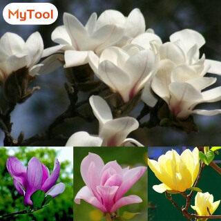 Hạt Giống Cây Hoa Mộc Lan Thơm MyTool, 20 Chiếc Đĩa, Trang Trí Sân Vườn, Màu Hỗn Hợp thumbnail