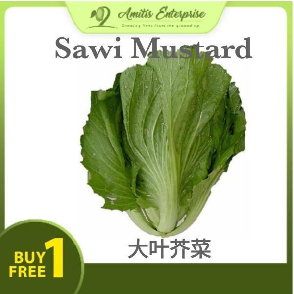 Buy 1 Free 1 300 seeds Leaf Mustard Sawi Mustard 芥菜 Genuine seeds Benih bermutu tinggi
