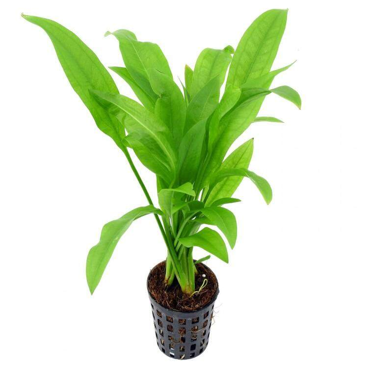 Echinodorus Amazonicus - Water Plant By Beebiesmart.