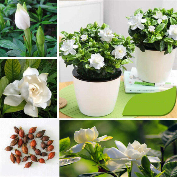 20pcs Gardenia Cape Jasmine White Aromatic Fragrance Flower Seeds Balcony potted plants Home Garden Plant Seed Garden Decor