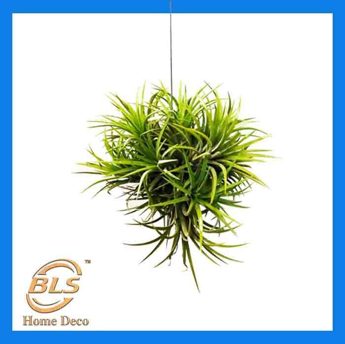 REAL LIVE AIR PLANT TILLANDSIA IONANTHA CLUMP LOCAL READY STOCK