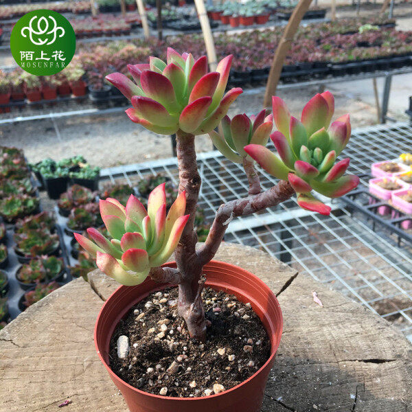 Real living succulents Real living succulents Red juvenile lotus old pile succulents succulent plants cute fleshy combination potted indoor flowers Moshang flowers