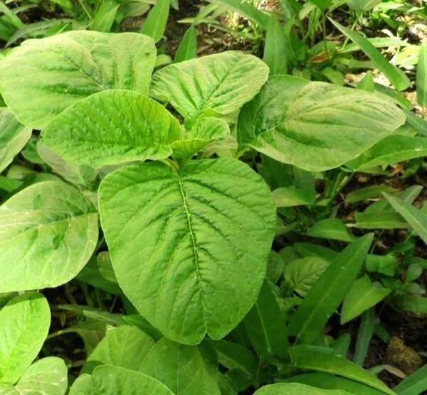Biji Benih Bayam Hijau Daun Bulat (500 seeds )/ 圆叶苋菜籽 / Round Leaves Green Spinach Seeds