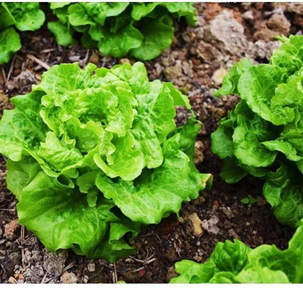 Biji Benih Daun Salad (300 seeds ) / 四季生菜籽 / Green Coral Lettuce seeds
