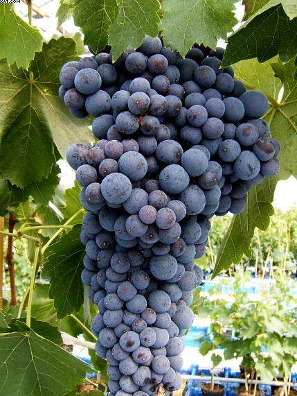 Benih Pokok Anggur Terus Dari Ladang.