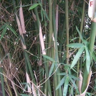 Trái Tim Đầy Màu Sắc 100 Hạt Giống Phyllostachys Pubescens Moso-Hạt Giống Tre Vườn Cây Trang Trí Nội Thất Mới thumbnail