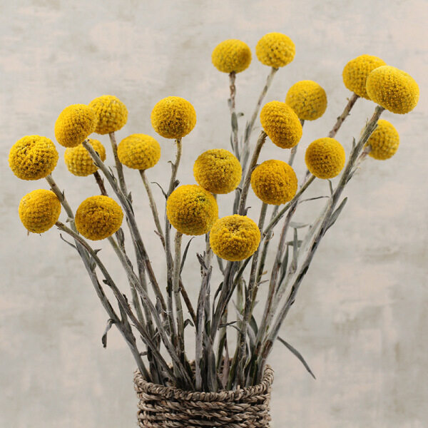 20pcs 2.5-3cm Large Natural Dried Flower Room Decoration Accessories Dried Craspedia Globosa Yellow Billy Balls Wedding Flower Bouquet Preserved Flowers Home Decoration