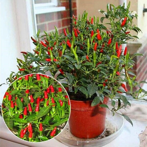 50pcs Sun Chili Pepper Chili Ornamental Chili Seed Bonsai Plant