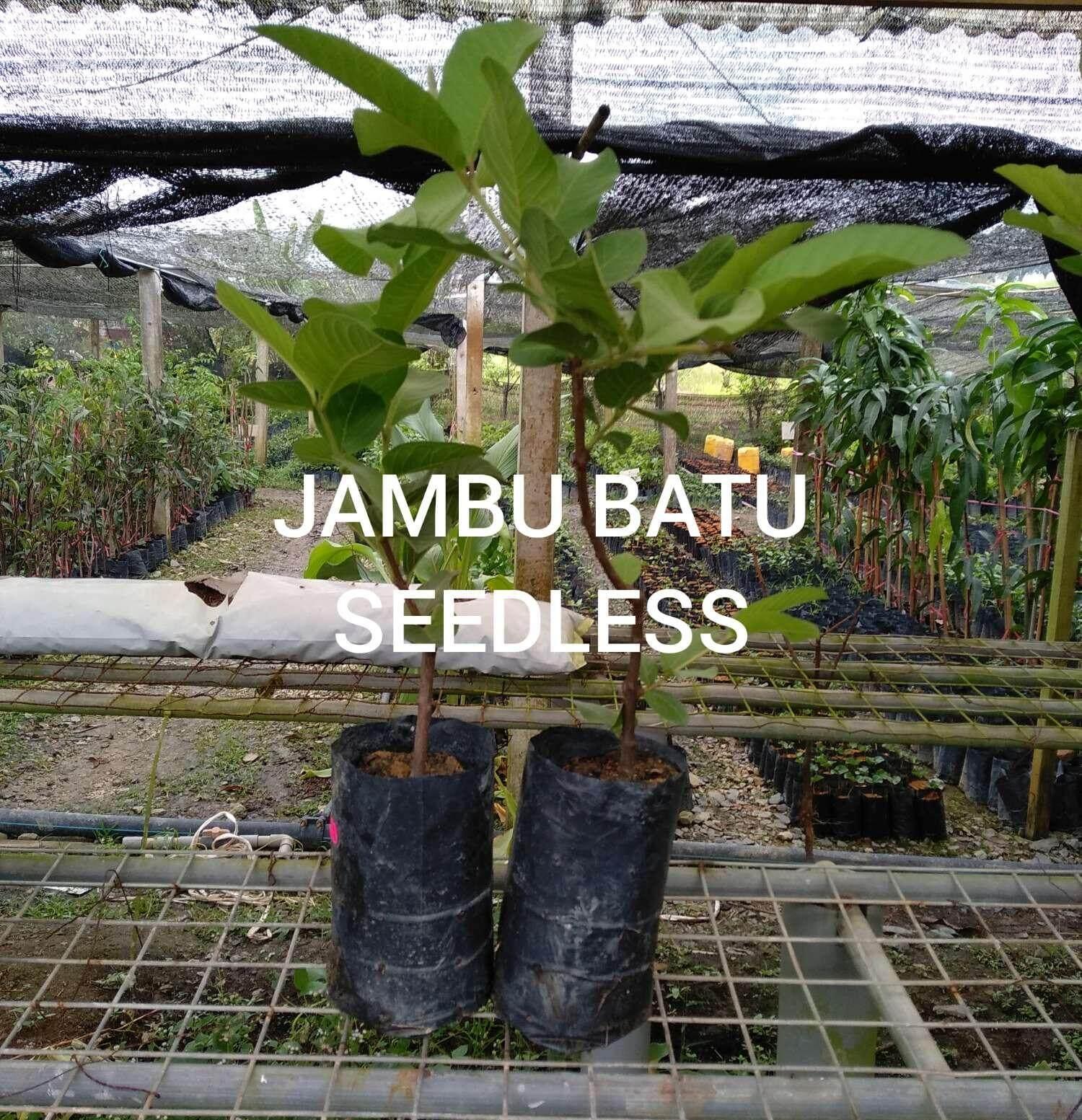 POKOK JAMBU BATU SEEDLESS (TIADA BIJI)
