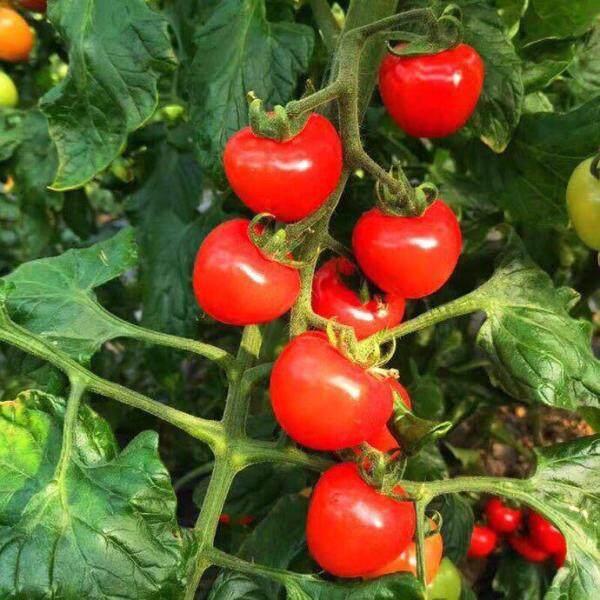 Biji Benih Tomato Ceri Ruby (25 Seeds) /千禧圣女樱桃小番茄 籽/ Millennium Cherry Tomato Seeds