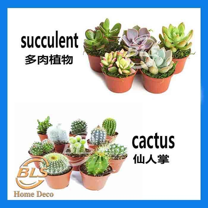 REAL LIVE PLANT CACTUS / SUCCULENT WITH SMALL PLASTIC POT