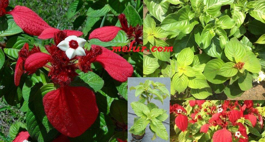 Anak Pokok Janda Kaya Merah Darah Red Blood Mussaenda Anak Pokok Tanaman Benih Garden Seed Seeds Lazada