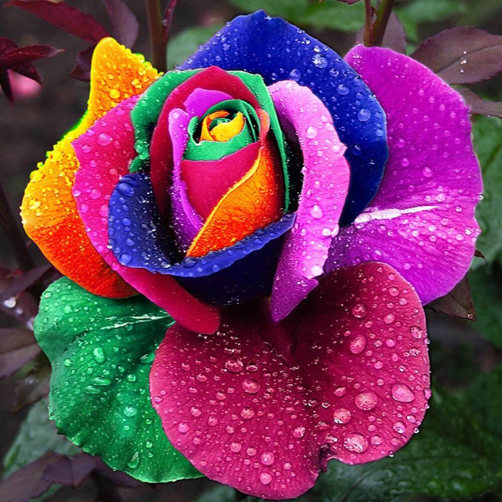 Yard Decoration Cute Plant Multi-colored Rose Seeds  All Season Garden Balcony Flowers