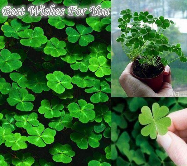 Lucky 50pcs Green Four Leaf Clover Grass Seeds Decoration Grow Your Own Luck Interest