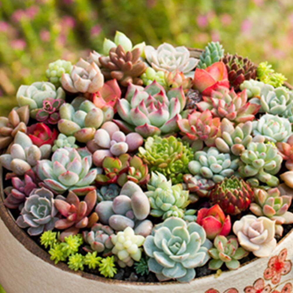 300seeds/pack Mix Succulent Seeds Lotus Lithops Pseudotruncatella Bonsai Plants Seeds For Home Garden By Fashiworld156.