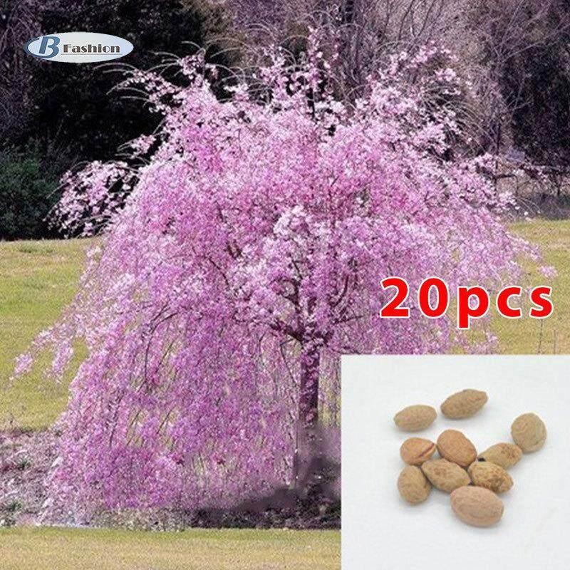 B-F 20pcs Seeds Japanese Cherry Sakura Prunus Serrulata Bonsai Ornamental Home Garden Decor