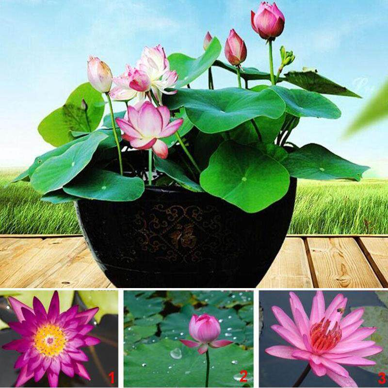 beautyfashionworld 20pcs Lotus Water Lily 11varieties Flower Seeds Nelumbo Nymphaea For Aquarium Pond Plants Balcony Germination Rate: 95%