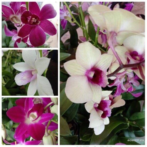 Orkid Combo 5 pokok rm55