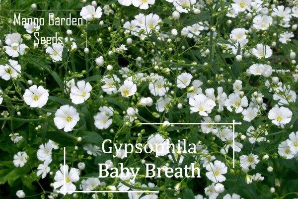 Baby Breath Gypsophila White Flower Seeds - 100 Seed *Pot Friendly* Tanam Pasu, Biji Benih Bunga Cantik - Mango Garden