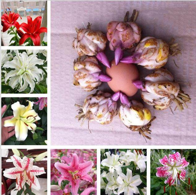 Perfume Lily Flower Ball Big Ball Lily Bulb Repetition Four Seasons Flower Plant Indoor Potted Perennial