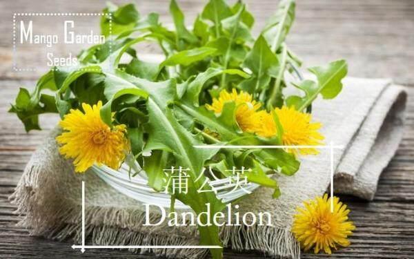 Dandelion Taraxacum Seeds - 100 Seed *Pot Friendly* 蒲公英 Benih sayur sayuran Sesuai Untuk Pasu