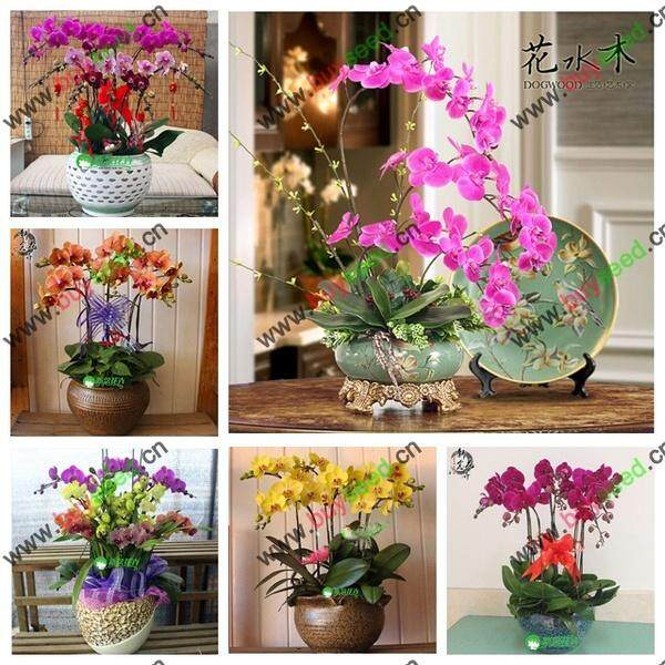 50PCS orchid seed Bonsai Flower seeds for home garden