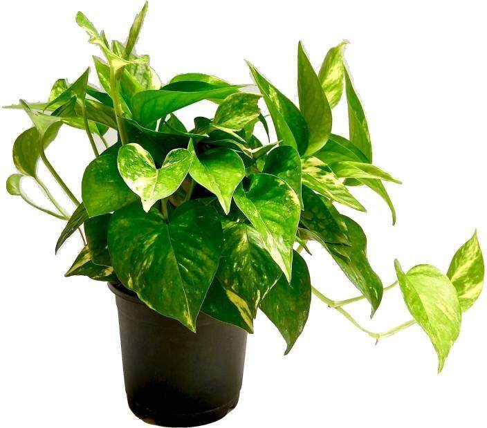 GPS Green Plant Society Indoor live Plant MONEY PLANT (万年青)