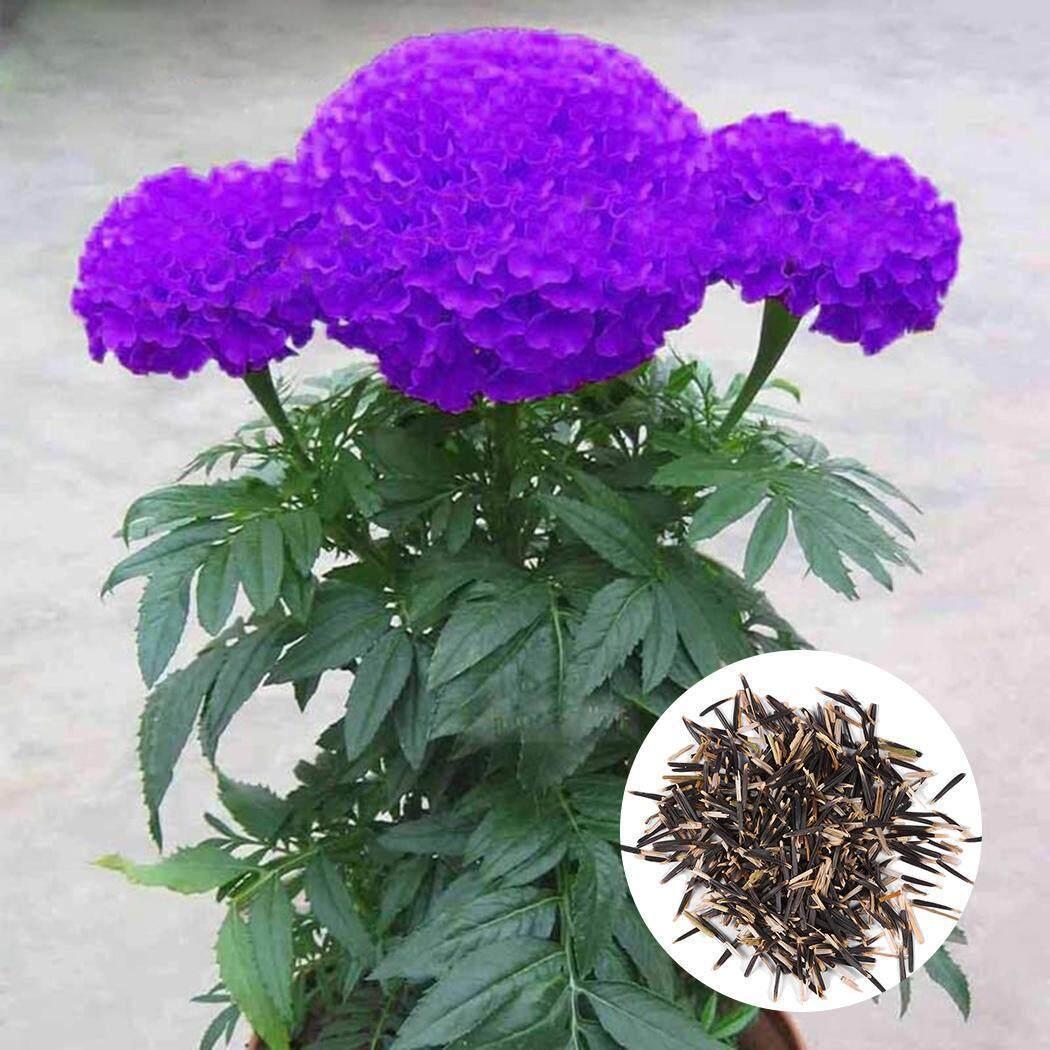 Fancikoko 100 Hạt Maidenhair Hạt Giống Hoa Chậu Thảo Mộc Vườn Cúc Vạn Thọ Cây Cảnh Hạt Giống