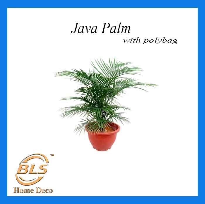 REAL LIVE INDOOR PLANT JAVA PALM WITH POLYBAG INDOOR PLANT