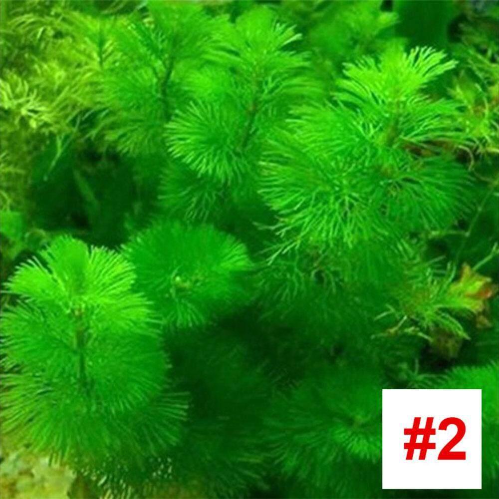 Bibit Rumput Perairan 1000 Pcs/pack Akuarium Kecil Dekorasi Rumput Air Biji Landscape Yang Indah Benih Rumput Akuarium Penghijauan