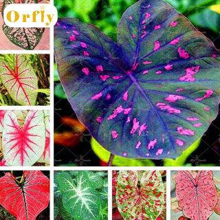 100 Hạt Giống Caladi Màu Hỗn Hợp Hạt Giống Hoa Vườn Nhà Đẹp thumbnail