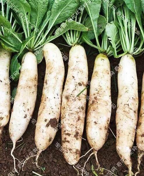 Vegatable Seeds / Benih Giant Radish ( 30 seeds) / Biji Bernih Raja Putih Lobak  / 白又甜大白萝卜籽
