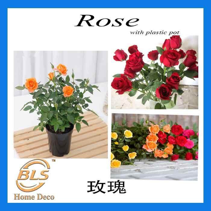 REAL LIVE PLANT ROSE WITH PLASTIC POT ( RANDOMLY PICK )