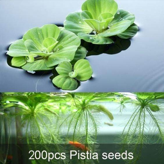 Andylike 200Pcs Aquarium plant Pistia seeds (Can germinate in water)