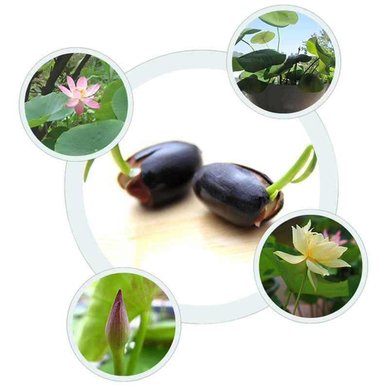 Yifang 20pcs /Bag Lotus Lotus Seed Hydroponic Plants Bonsai Flower Seeds Potted Water Lilies Seeds Family Garden
