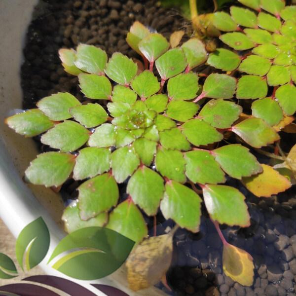 (Aquatic Plant) Mosaic Water Plant (three Stem) Ludwigia Sedoides by LS Aquatic